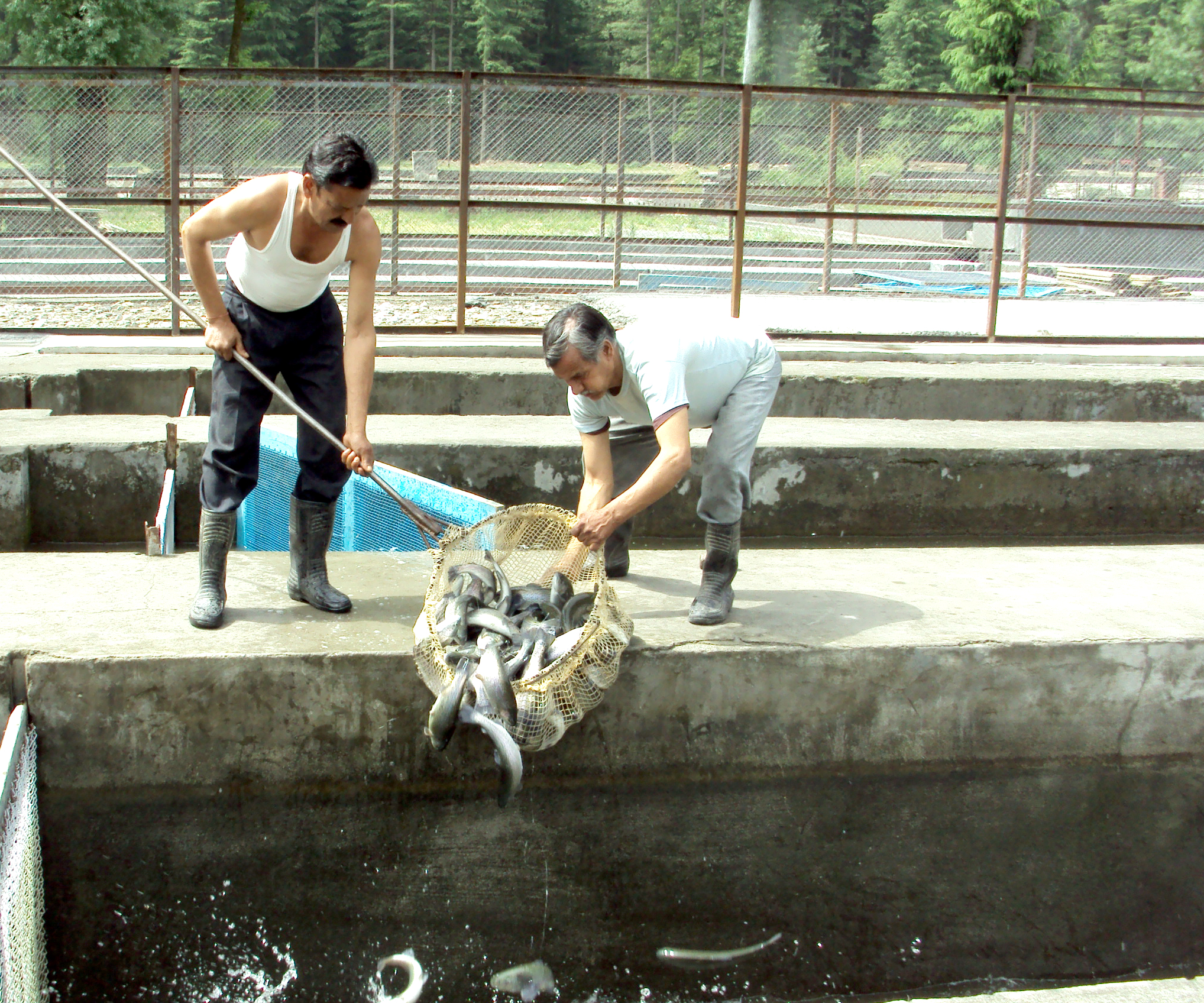 Trout - Fisheries Department, Government of Himachal Pradesh